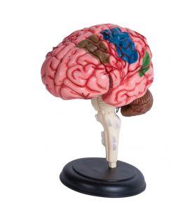 4D Human Brain Anatomy Model