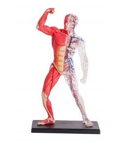 4D Human Muscle & Skeleton Anatomy Model