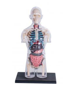 4D Human Transparent Torso Anatomy Model