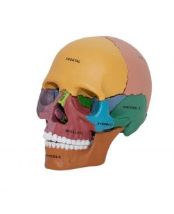 4D Human Didactic Exploded Skull Anatomy Model