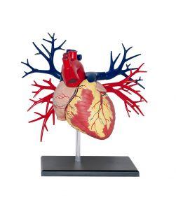 4D Human Deluxe Heart Anatomy Model