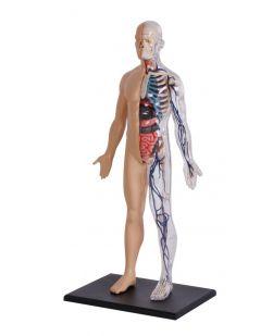 4D Human Body Model, Half Cleared
