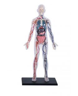 4D Human 32cm Transparent Human Body Anatomy Model
