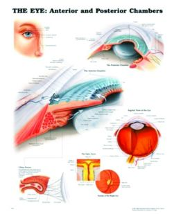 Chart,  The Eye Anterior & Posterior, (Bachin) 50 x 66cm