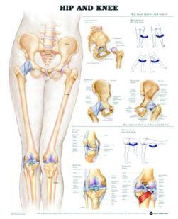Chart,  Hip & Knee, (Bachin)  50 x 66cm