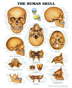 Chart,  The Human Skull, (Bachin) 50 x 66cm
