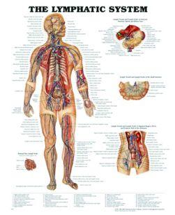 Chart,  Lymphatic System, (Bachin) 50 x 66cm