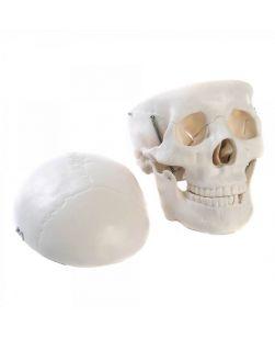 Skull Model, life size