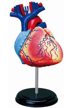 Models, Human Heart