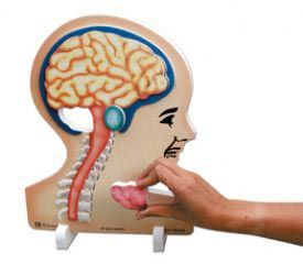 Book plus models - brain