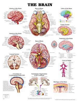 Chart,  The Brain, (Bachin) 50 x 66cm.