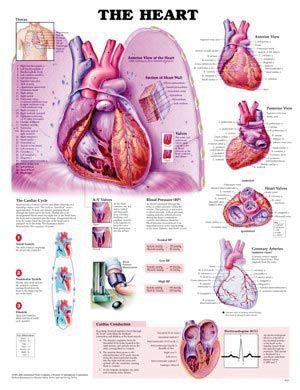 Chart,  The Heart, (Bachin) 50 x 66cm