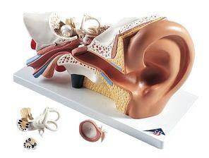 Models, Ear (3B brand), 4 Parts, 3x