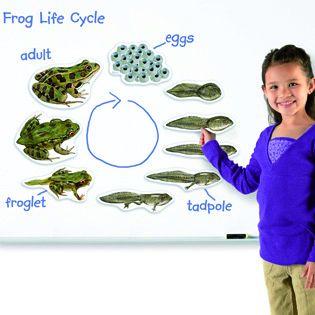 Giant Magnetic Frog Life Cycle