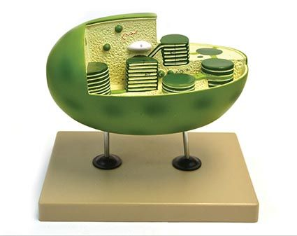 Models, Chloroplast