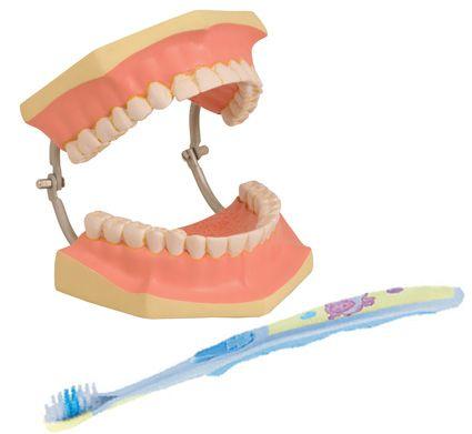 Models, dental care, 3x