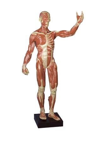 Muscular figure, 62cm