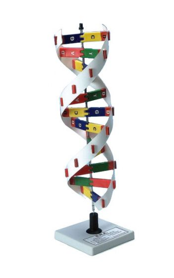 DNA model kit, 30cm