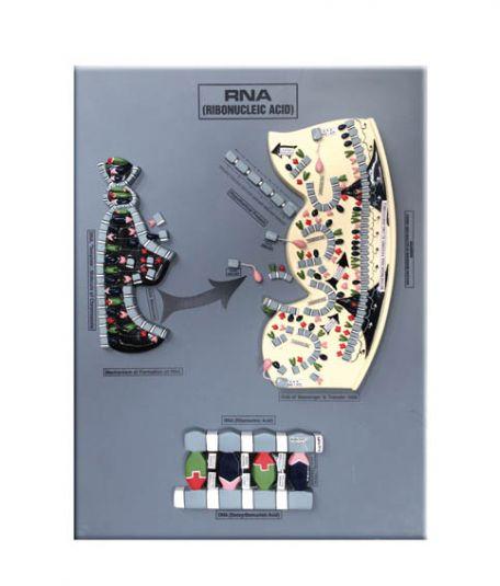 Models, RNA process, raised relief, 60 x 45 cm