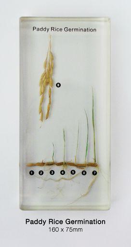 Paddy Rice Germination