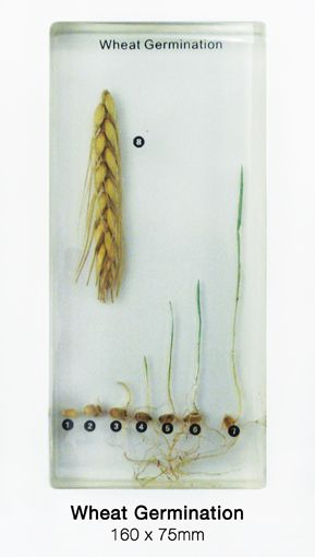 Wheat Germination