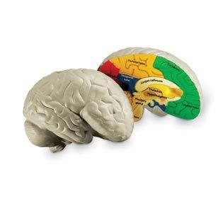 Human Brain Cross Section Model, Foam