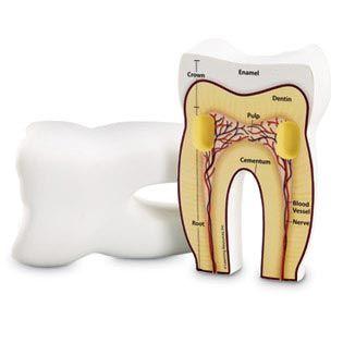 Tooth cross section model, foam