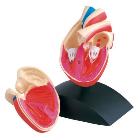 Anatomical models, Heart, actual size