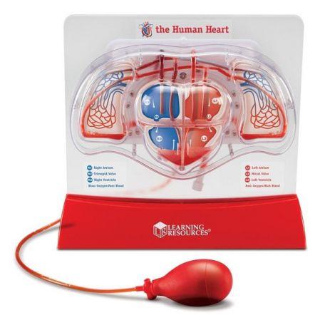 Pumping Heart & Lung model