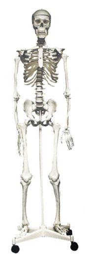 Skeleton model, full size, on stand, 160cm