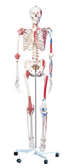 Human Skeleton with muscles & ligaments, full size