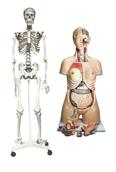 Human Skeleton & Torso bundle - Full Size
