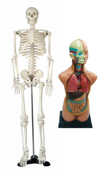 Human Skeleton & torso bundle - medium