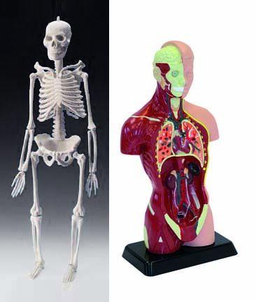 Human Skeleton & Torso bundle - Mini