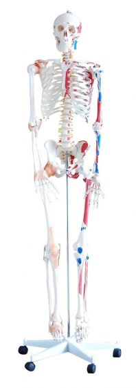 Skeleton with muscles and ligaments