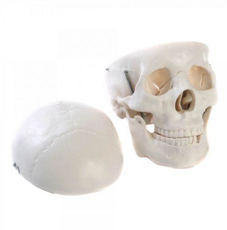 Skull mode, plastic, life size