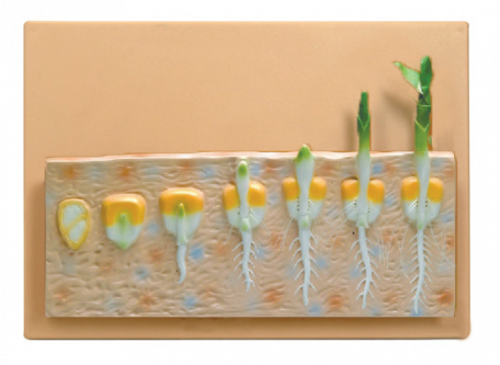 Models, Seed Germination (Maize), monocot