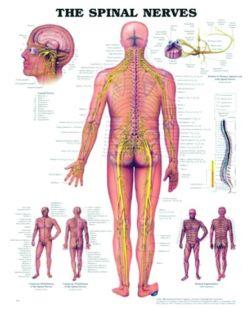 Chart,  Spinal Nerves, (Bachin) 50 x 66cm